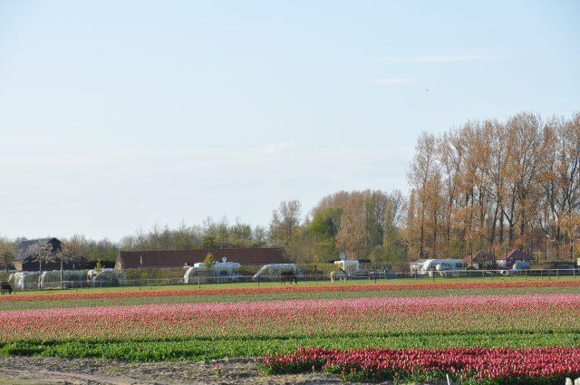 bloembollen velden